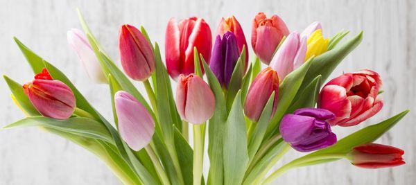 2,5 tys. tulipanów dla krakowianek / fot. fotolia