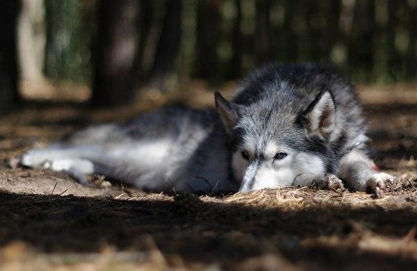 husky wakacje urlop pies