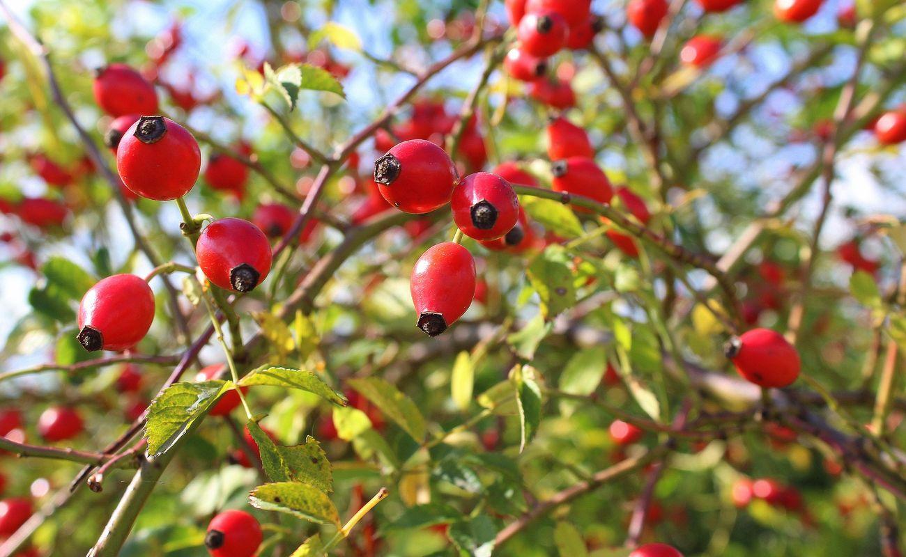 Dzika róża i jej czerwone owoce na niebieskim tle
