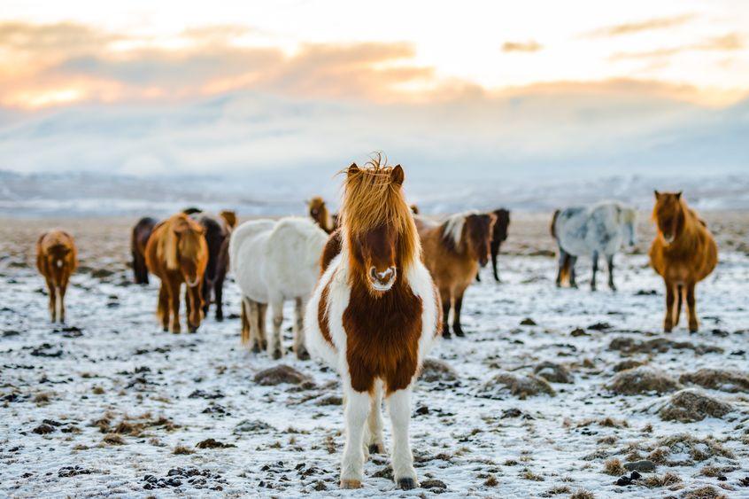 konie i Islandia