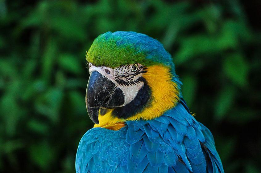 Niebieska papuga