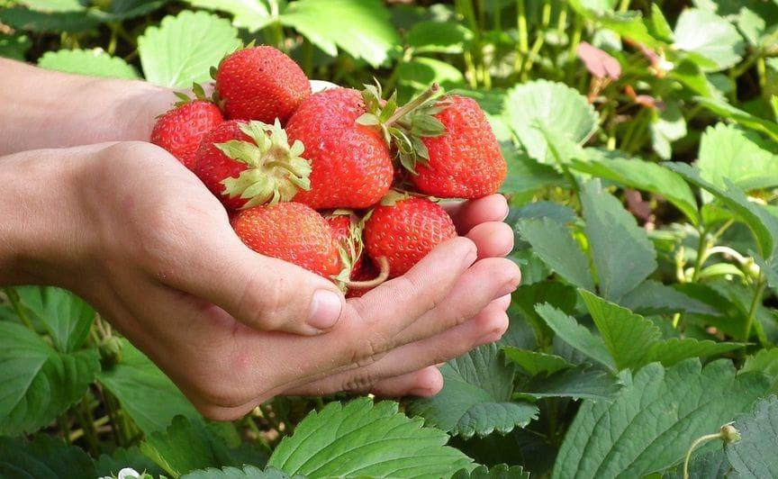 Dobrze posadzone truskawki, które dają duże plony