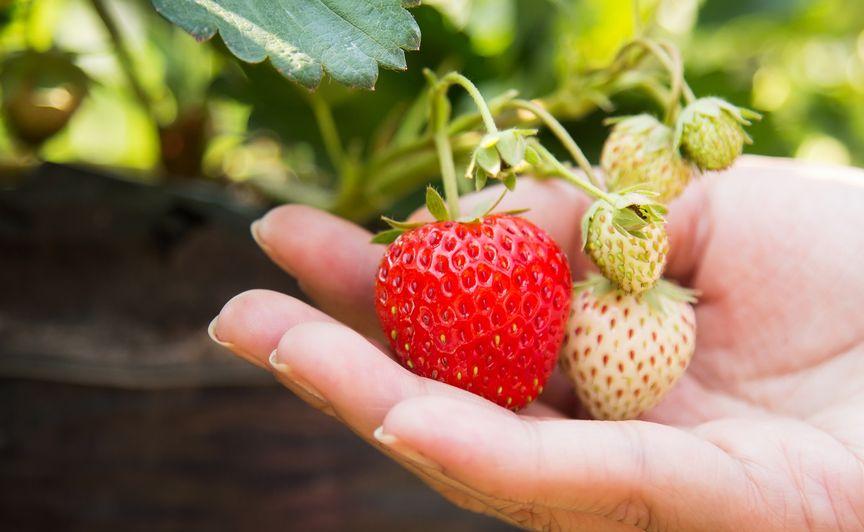 Truskawka z dobrze zasadzonej i odpowiednio zadbanej rośliny